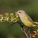 Orange Crowned Warbler...#1 (a lifer for me)
