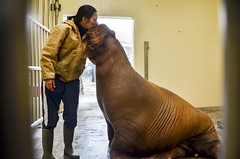 Walrus Smooch (Ted Somerville) Tags: indianapolis indy indiana select hoosier naptown