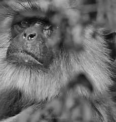 Langur portrait (mechstar) Tags: portrait white black nikon gray sigma f45 500mm langur gupta sandip