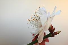 梅3 (likerain2011) Tags: china flowers flower color macro nature horizontal closeup canon outdoors photography spring blossom outdoor plum nopeople petal growth stamen begonia bud nanjing freshness plumblossom fragility coloredbackground focusonforeground 5d2