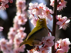 Japanese white-eye (hamapenguin) Tags: bird animal garden spring  ume botanicalgarden japanesewhiteeye  japaneseapricot    prunusmume