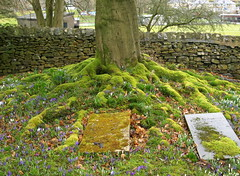 Spring at Kendal Cemetery 4 (Tony Worrall) Tags: uk flowers blue wild england white green nature grave outdoors spring colours purple natural buried north stock crocus images bulbs colourful tombstones gravestones springflowers grown kendal kendalcemetery ©2013tonyworrall
