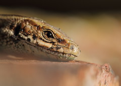Common Lizard. (Zootoca vivipara) [Explored] (bojangles_1953) Tags: lizard common vivipara zootoca
