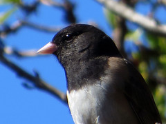 Junco (danieljsf) Tags: bird animal bokeh junco small profile 3waychallenge flickrchallengegroup thechallengefactory