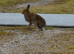 Irish-Hare (rdspalm) Tags: ireland hare donegal realireland irishhare nikond800