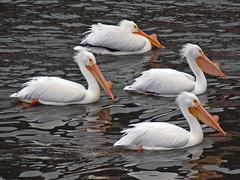 P1080705 (lbj.birds) Tags: bird nature wildlife pelican kansas flinthills americanwhitepelican