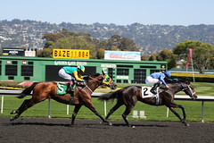 A Day At the Tracks (Jill Clardy) Tags: ca horse gambling colors grass club golden berkeley gate track day muscle muscular fast racing clear jockeys jockey fields eastbay races betting turf equine day81 paddock silks blinders day81365 3652013 365the2013edition 22mar13 4b4a1583