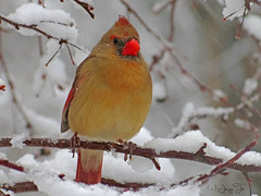 Where is Spring? (JacquiTnature) Tags: winter snow cold bird nature female wildlife aves wv grosbeak precipitation cardinaliscardinalis northerncardinal passerine naturesharmony jacquit