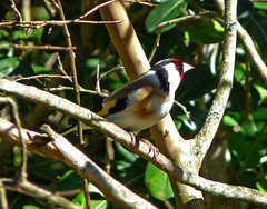 Beau chardonneret  Pretty goldfinch (myvalleylil1) Tags: france bird goldfinch printemps oiseaux lamole chardonneret