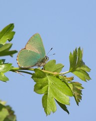 Green hairstreak (rockwolf) Tags: butterfly insect shropshire lepidoptera explore decline greenhairstreak explored rockwolf callophrysrubi llanymynechrocks badnewsforbutterflies