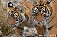The Glance! (WhiteEye2) Tags: india wildlife tiger safari bengaltiger wildtiger indianwildlife ranthamborenationalpark wildlifeofindia hennysanimalkingdom