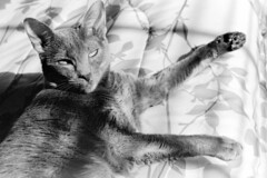 Sunbathing (Brock5604) Tags: light pet sunlight film window cat 35mm canon happy bed feline warm natural kodak ae1 relaxing kitty indoor blanket lounging paws lying sunbathing available laying bw400cn c41 homedeveloping tetenal