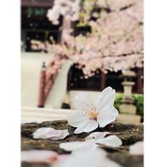 #sakura #taito #nippori โครงการซากุระข้างบ้านร่วงน่ามอง ปลิวตกมากอง #japan #spring เกรียนด้วยชื่อบ้านใหม่จากน้องต้าร์ san der grey house