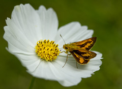 SKipper on Cosmos (aussiegall) Tags: autumn white plant flower butterfly garden petals wings stem stamen cosmos sepals