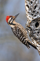 IMG_6826 Ladder-backed Woodpecker Male (lois manowitz) Tags: arizona birds woodpeckers