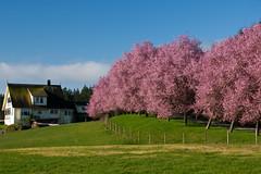 Pastoral (Prestidigitizer) Tags: pink tree farmhouse cherry blossom farm victoria pasture idyllic metchosin pentaxk10d pentaxda50135mm mygearandme mygearandmepremium mygearandmebronze mygearandmesilver mygearandmegold mygearandmeplatinum parrybaysheepfarm