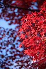 Red at Kinkaku-ji (Dan Chui (on/off!)) Tags: blur flower color fall nature grass japan garden geotagged fun outdoors maple nikon kyoto asia day dof bokeh vibrant scenic autumnleaves momiji 京都 mapleleaf 日本 紅葉 花 foilage 金閣寺 28300mm d800 koyo kinkakujitemple 楓 亞洲 templeofthegoldenpavilion