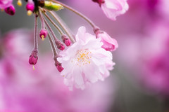 The Star of Spring in Japan (JapanDave) Tags: flowers japan spring fav50 fav20  sakura cherryblossoms fav30 okazaki aichiprefecture  weepingcherry  yaezakura fav10 fav250 fav100 fav200 fav300 fav40 fav60  shidarezakura fav110 fav90 fav150 fav170 fav80 fav70 fav120 fav140 fav160 davidlaspina fav180 fav190 fav130 fav210 fav220 fav230 fav240 fav400  fav260 fav270 fav280 fav290 fav310 fav320 fav330 fav340 fav350 fav360 fav370 fav380 fav390 japandave yaeshidarezakura