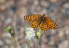 Sagebrush Checkerspot (Ron Wolf (...detests this new design...)) Tags: california nationalpark desert lepidoptera asteraceae deathvalleynationalpark desertpincushion chaenactisfremontii fremontpincushion nymphalidae nectaring sagebrushcheckerspot chlosyneacastus