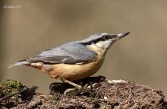 Etherow Nuthatch (claylaner) Tags: bird cheshire nuthatch sittaeuropaea etherow canon60d mygearandme photographyforrecreation vigilantphotographersunite
