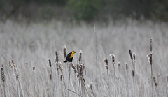 Yellow-headed Blackbird (artlessfun) Tags: bird yellowheadedblackbird xanthocephalusxanthocephalus clarkcountywashington ridgefieldnwr artlessfun canoneosrebelt3i img14464