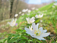 Finally spring light! (Rosmarie Wirz) Tags: flowers light italy white spring meadow wildflowers bergamo anemonenemorosa woodanemones
