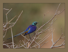 Golden-breasted Starling (Rainbirder) Tags: kenya tsavoeast goldenbreastedstarling lamprotornisregius cosmopsarusregius royalstarling rainbirder