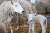 The lamb (juliereynoldsphotography) Tags: sheep lamb juliereynolds juliereynoldsphotography stockleybirdcentre