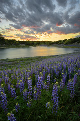 Fields of Lupine [Explored] (boingyman.) Tags: flowers trees sunset lake landscape fields scape lupine owers boingyman