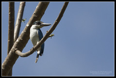 Collared Kingfisher (Gerald Yuvallos) Tags: nature birds canon philippines 300mm kingfisher 7d cebu collared 2x cebusugbo 28is istoryanet fafagraphy