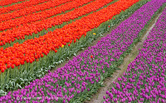 Field of tulips in Agassiz, British Columbia (PIERRE LECLERC PHOTO) Tags: flowers canada mountains nature beauty season landscape spring colorful bc tulips britishcolumbia farm scenic rows tulipfield snowcappedmountains agassiz rowsoftulips pierreleclercphotography