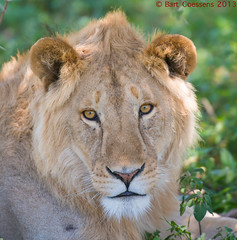 Young male Lion - Ngorongoro CA - Tanzania (bart coessens) Tags: cats animal animals cat tanzania mammal leo lion ngorongoro bigcat lions predator bigcats predators exoticcat malelion pantheraleo africanwildlife ndutu ngorongoroconservationarea flickrbigcats ndutuarea