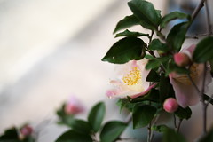light pink (komehachi888) Tags: flower nikkor35mmf2d nikond600