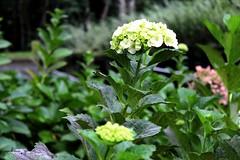 16032013-IMG_0404 (Andrea Zitelli) Tags: solo hydrangea hortensia sagrado macrophylla guarapiranga
