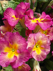 Faces in the sun (bryanilona) Tags: flowers garden primula fantasticflower