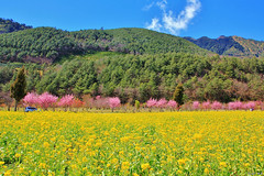 Multicolored spring (Singer ) Tags: pink blue light sky people plant flower tree green car sunshine yellow clouds canon taiwan rape singer sakura cherryblossoms           rapeseed                canon550d singer186  fieldofrapeseeds sunlight