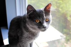Olive, my kitten. (xTheMedusaCascadex) Tags: pet green animal cat 35mm grey eyes kitten fuzzy gray olive domestic afs 18g