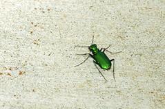 2014 Six-spotted Tiger Beetle (Cicindela sexguttata) (DrLensCap) Tags: green robert wisconsin bug insect wildlife tiger beetle center national visitors kramer refuge necedah cicindela sixspotted sexguttata