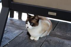 crystal eyed cat (SanctyYumi) Tags: france animals cat chat minou flin