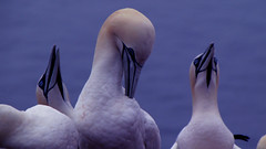 Beauty is all around us in nature - Northern Gannets (DiSorDerINaMirrOR) Tags: eyes nature birds helgoland north northsea germany water colony northern gannet bassana sula