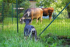 2016 7 Lanzo d'Intelvi, Tosca preoccupata per la presenza di mucche nel prato del vicino .... (mario_ghezzi) Tags: lanzodintelvi lombardia italia intelvi valledintelvi nikon coolpix nikoncoolpix p7000 coolpixp7000 nikonp7000 nikoncoolpixp7000 marioghezzi noreflex tosca schnauzer mucca