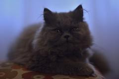 Buu (siinestesiia) Tags: nikon nikond5200 nikkor 50mm 50mmlens photografa photographie photography portrait cat kitty kitten gatita gata