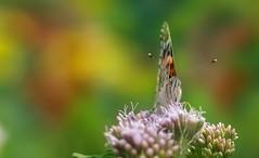 Butterfly (Delbrcker) Tags: butterfly schmetterling insect insekt animal tier macro makro outdoor nikond610 nikkor105mm