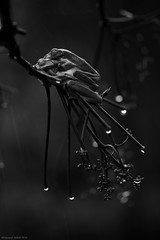 Monsoon Ritual - II (Ramesh Adkoli) Tags: bw closeup blackwhite capturenx fringeford d800e