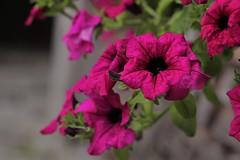 IMG_0084 (2) (Teslla9.8) Tags: flower pink macro nature olor pinkflower