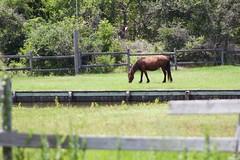 Wild Horse OBX (Cruz'n2Victory) Tags: obx wildhorses carolla