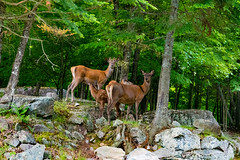 Famille de Cerfs Rouge (thanh_geneva) Tags: parc park parcomega ontario canada nature animal fort forest