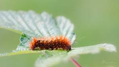 Scarce Dagger (JKonradsen Photography) Tags: macro larvae moth butterfly insect jkonradsen