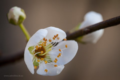 Spring Blossom (Adam Dimech) Tags: prunusarmeniaca apricot blossom flower bloom tree plant nature garden botany horticulture melbourne victoria australia