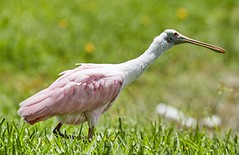 Jul 21 20165206 (Lake Worth) Tags: bird nature birds animal animals florida outdoor wildlife wing feathers wetlands everglades waterbirds southflorida birdwatcher canonef500mmf4lisiiusm canoneos1dxmarkii